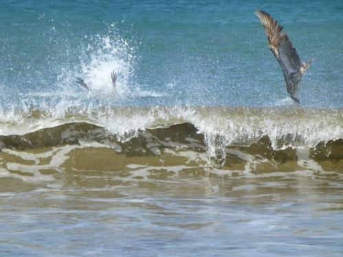 fishing pelicans.