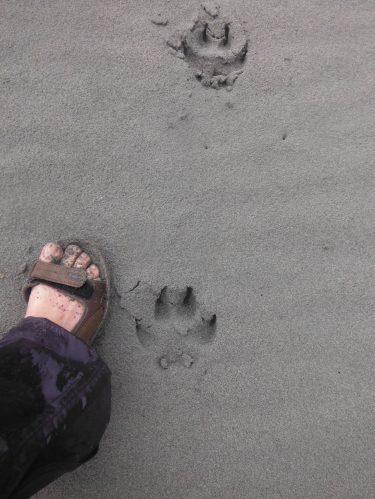 Massive!, very fresh wolf print on the beach.